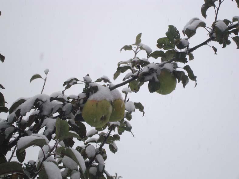 яблоки на заснеженых ветках